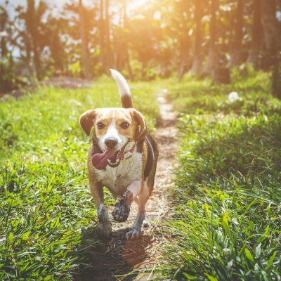 adult-beagle-walking-on-grass-field-1485637