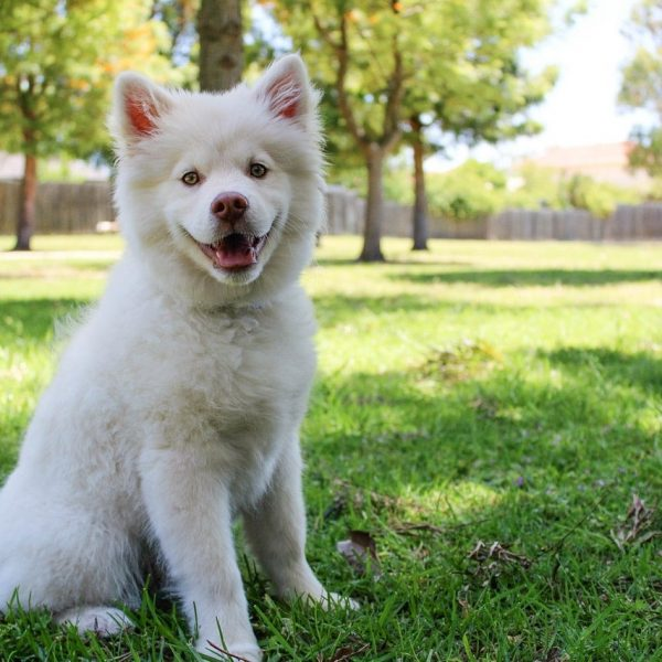 short-coated-white-dog-on-green-field-247937